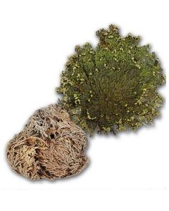 Rose of Jericho (resurrection plant)