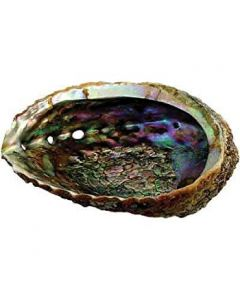 Green Abalone Shell 10-12cm